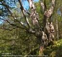 Ancient beech, a habitat tree