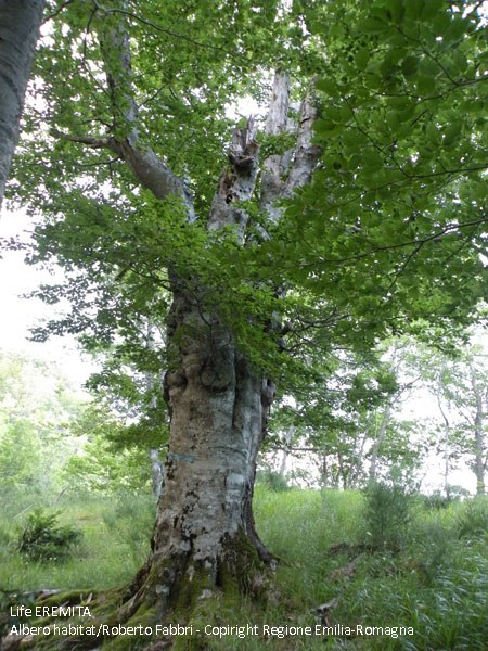 Ancient beech in San Paolo in Alpe - PNFC