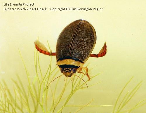 Dytiscid Beetle