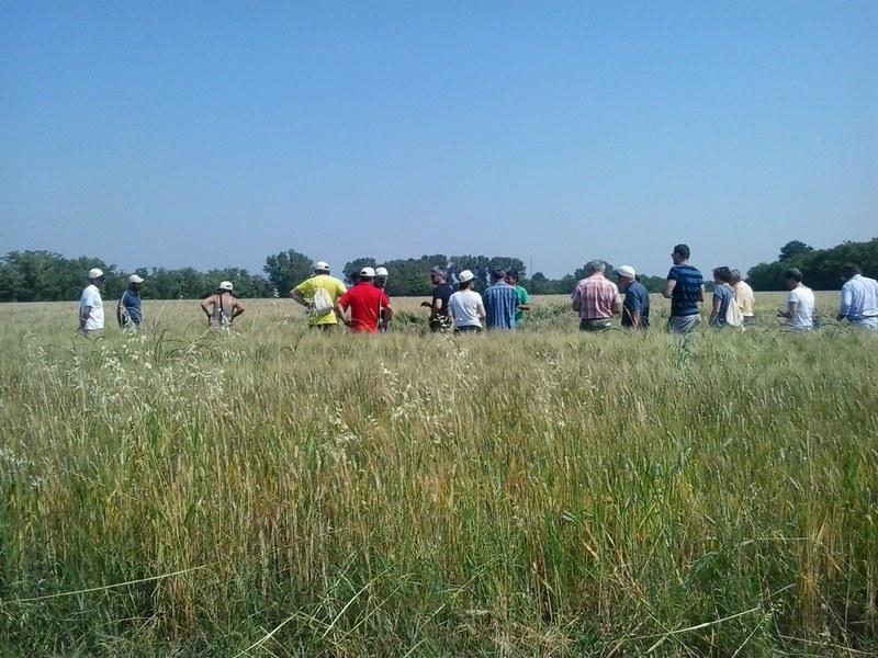 Visita dimostrativa in campo di grano duro