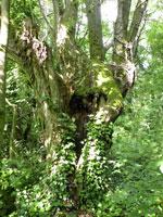 foto: vecchio pioppo cavo, habitat importante per le specie di insetti forestali (Roberto Fabbri)