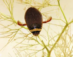 Reintroduzione del Graphoderus bilineatus